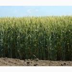 Семена озимой пшеницы Подолянка