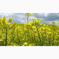 Семена рапса озимого Стилуца, 280 дней, 36-45 ц/га