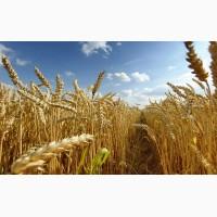 Куплю оптом кукурудзу, пшеницю, ячмінь, жито, овес
