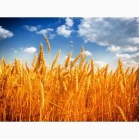 Продам пшеницю 2-3 класу. 1000 тонн. ціна договірна. Луцьк. Турійськ