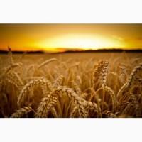 Куплю пшеницу, ячмень оптом, дорого