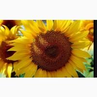 Купуємо органічну продукцію - соняшник