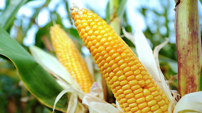 Фото 2. Семена кукурузы Канадский трансгенный гибрид кукурузы SEDONA BT 166 ФАО 180