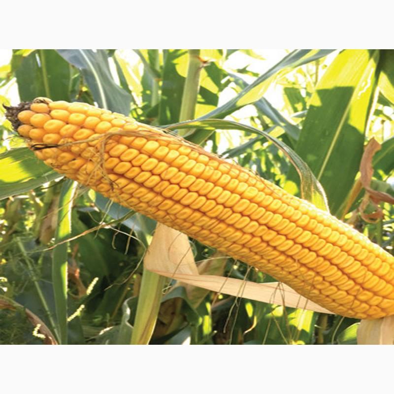 Фото 3. Семена кукурузы Канадский трансгенный гибрид кукурузы SEDONA BT 166 ФАО 180
