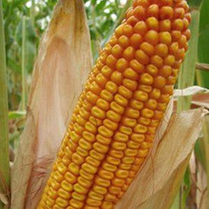 Фото 4. Семена кукурузы Канадский трансгенный гибрид кукурузы SEDONA BT 166 ФАО 180