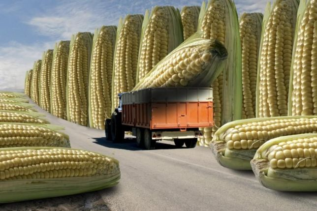 Фото 5. Семена кукурузы Канадский трансгенный гибрид кукурузы SEDONA BT 166 ФАО 180