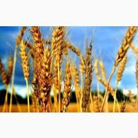 Закупівля зернових. Овес. Жито. Кукурудза. Ячмінь. Пшениця