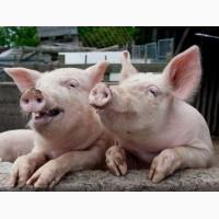БВМД Фініш- 10% (концентрат, премікс, комбікорм) для свиней