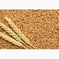 Куплю зернові. Ячмінь. Пшениця. Овес. Жито. Кукурудза