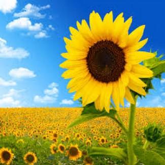 Насіння соняшнику Златсон і Форвард