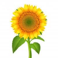 Проводимо оптову закупівлю соняшнику олійного