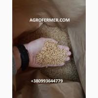 Семена пшеницы MASON озимый канадский трансгенный мягкий сорт