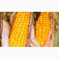 Насіння Кукурудзи - Найкращі Гібриди