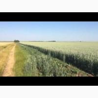 Канадская пшеница. Сорт. Тесла