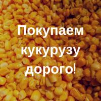Покупаем кукурузу за наличный расчет