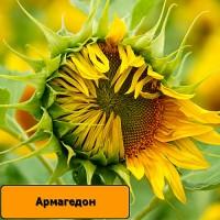 Гібрид соняшнику АРМАГЕДОН / Семена подсолнечника Армагедон - под Евро-Лайтнинг
